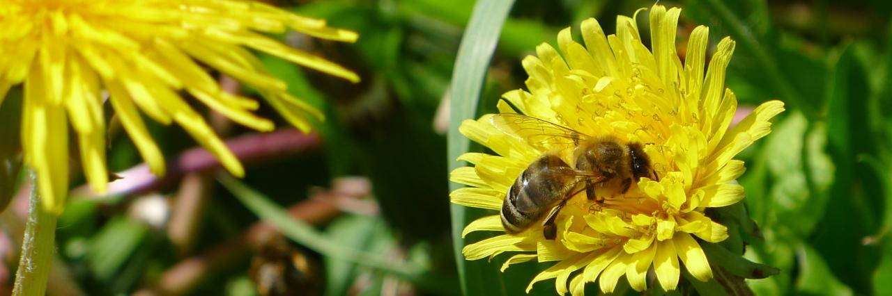 Biene Maja im Löwenzahn