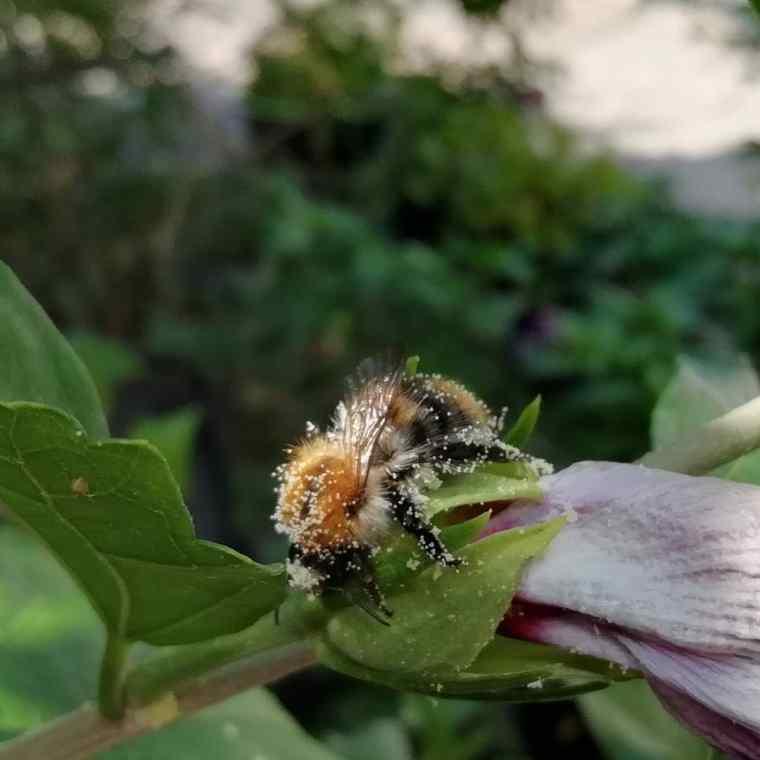 Biene-Pollen