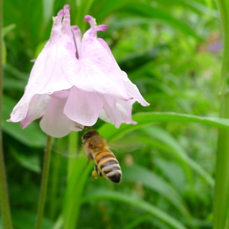 Biene im Garten © Maja Christ
