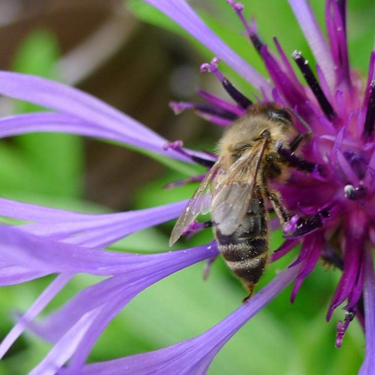 Bienen und Hummeln im Garten © Maja Christ