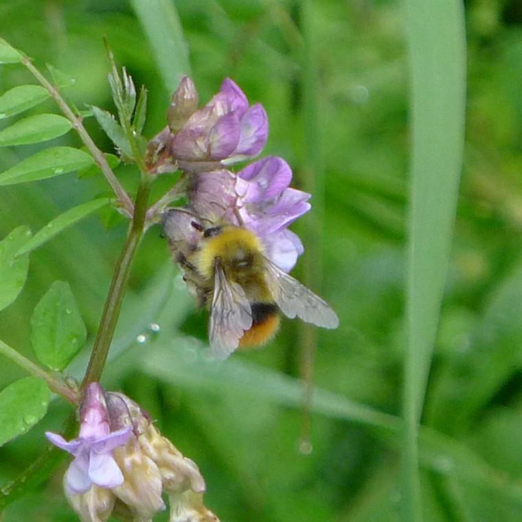 Bienen und Hummeln © Maja Christ